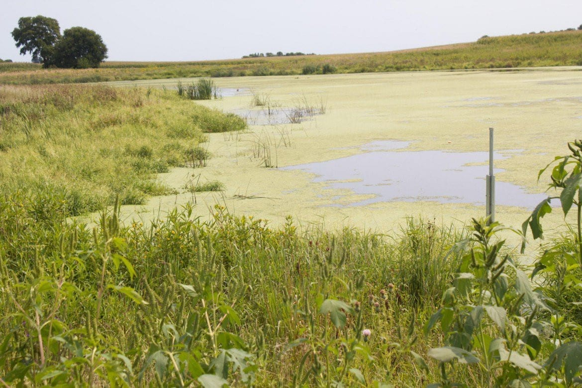 Constructed wetlands surrounded by long grasses serve as a natural filter to remove nitrogen from water flowing off farm fields so only clean water reaches rivers. (Photo: Amy Mayer | Harvest Public Media)