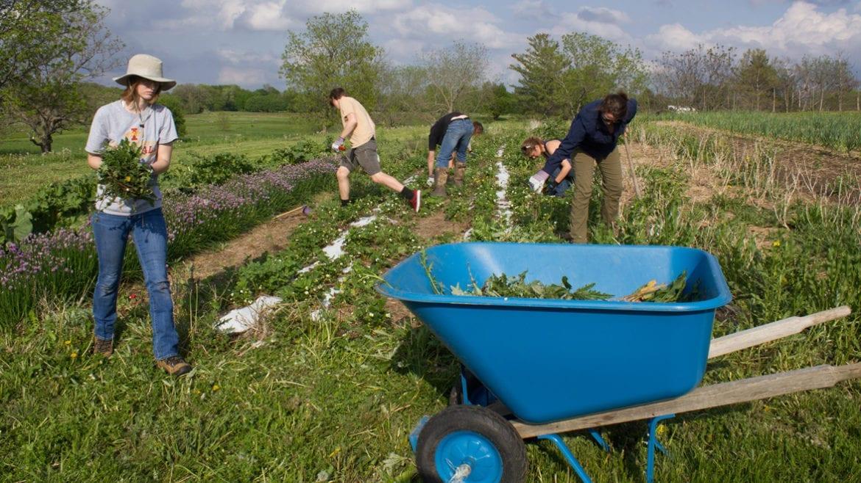 students weeding