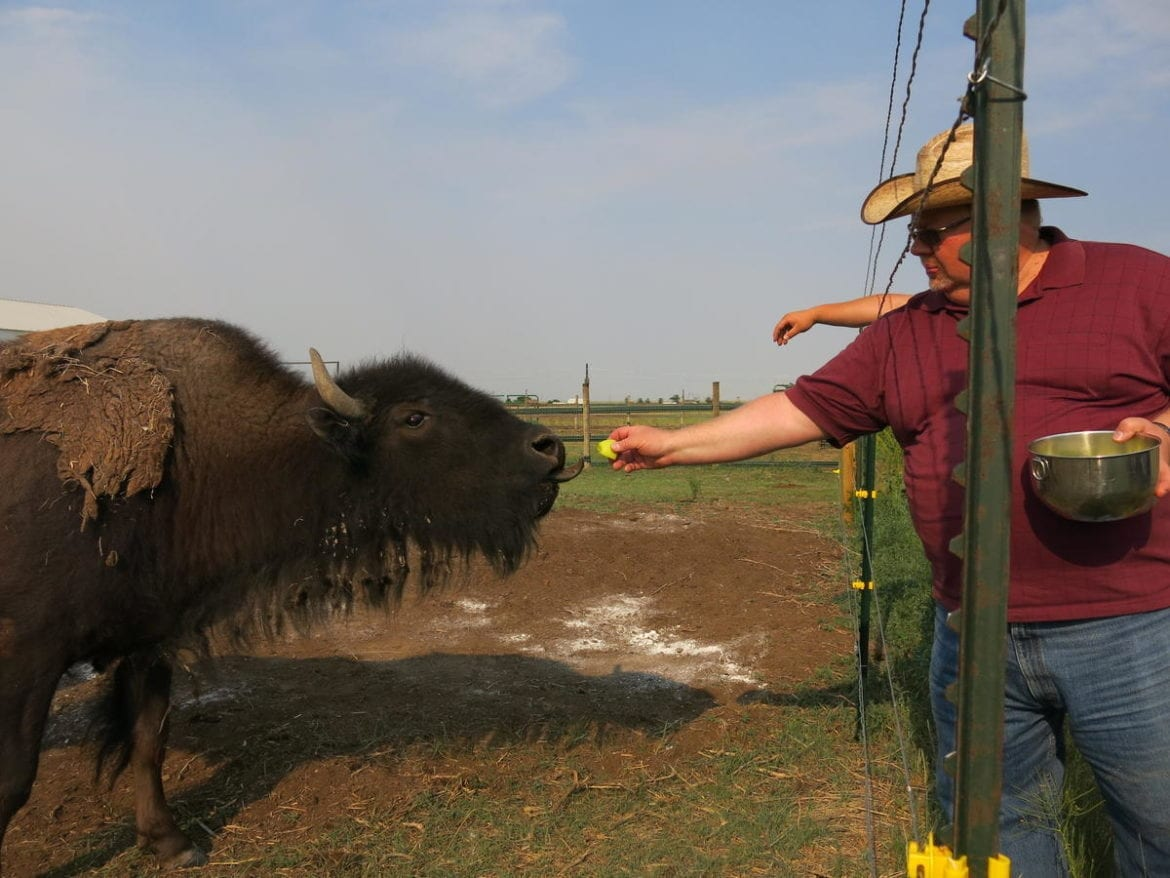 A man feeds a bison.