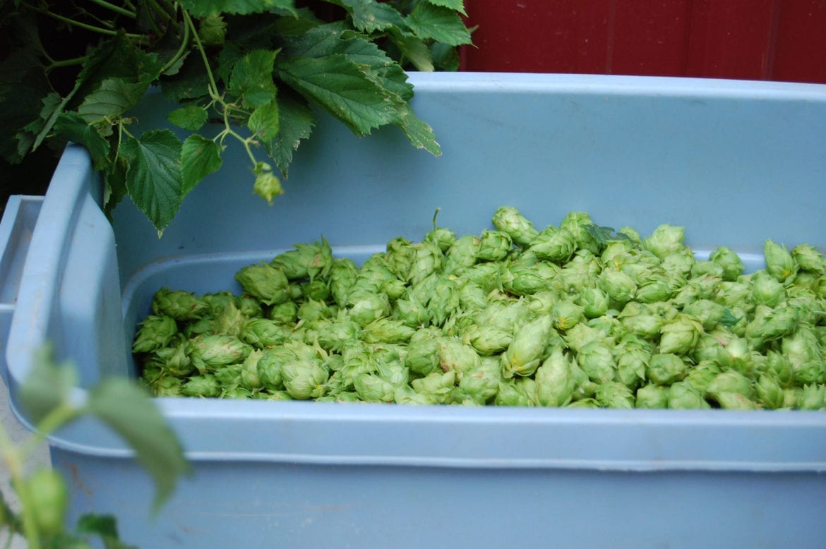 These Midwest Farmers Are Brewing Up Hops For Local Beer