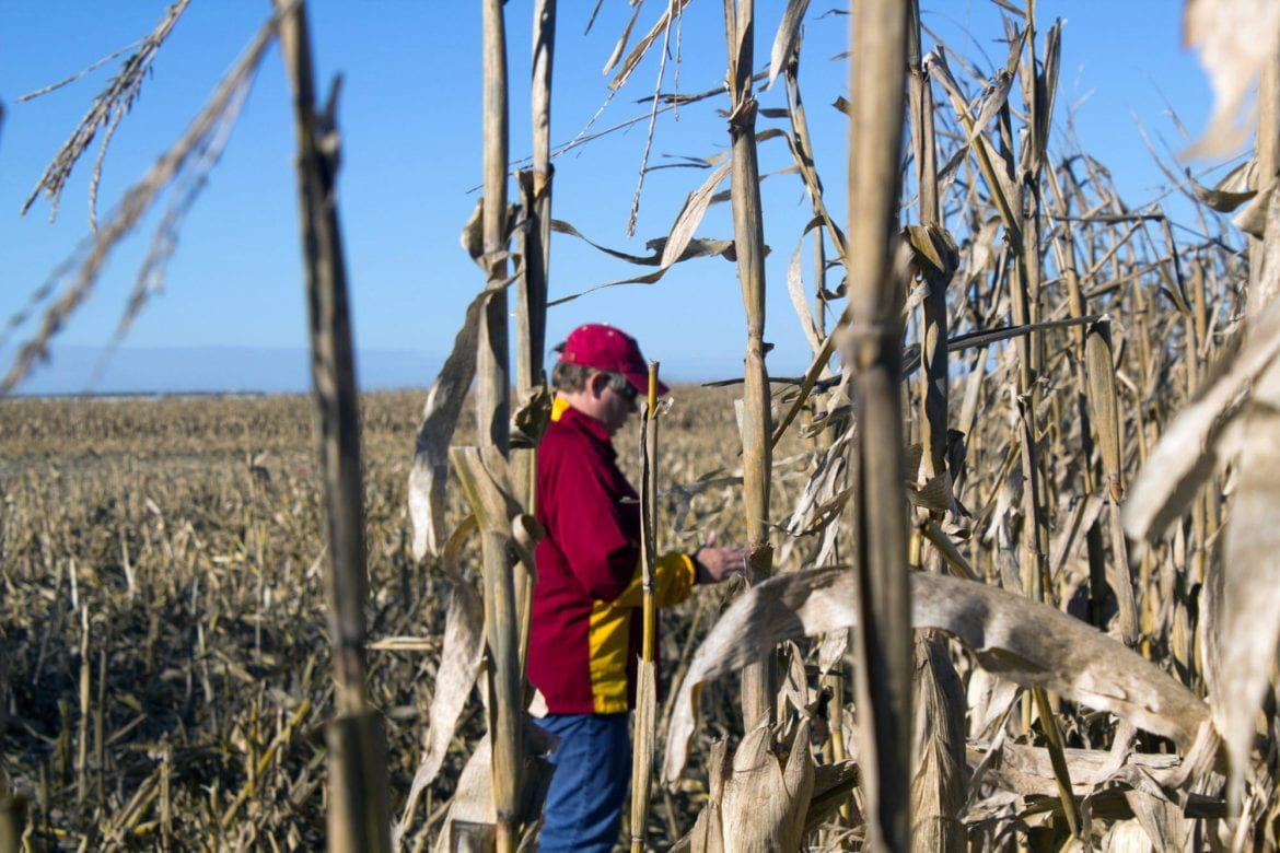 A woman stands in a corn field.