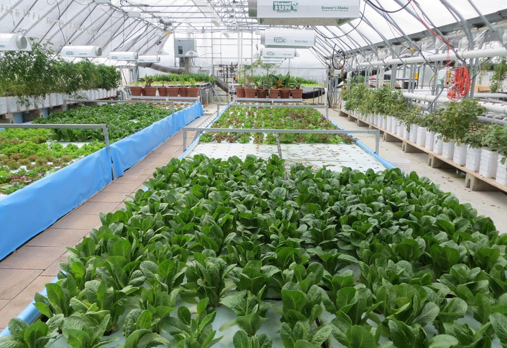 A line of plants growing in hydroponics farm.