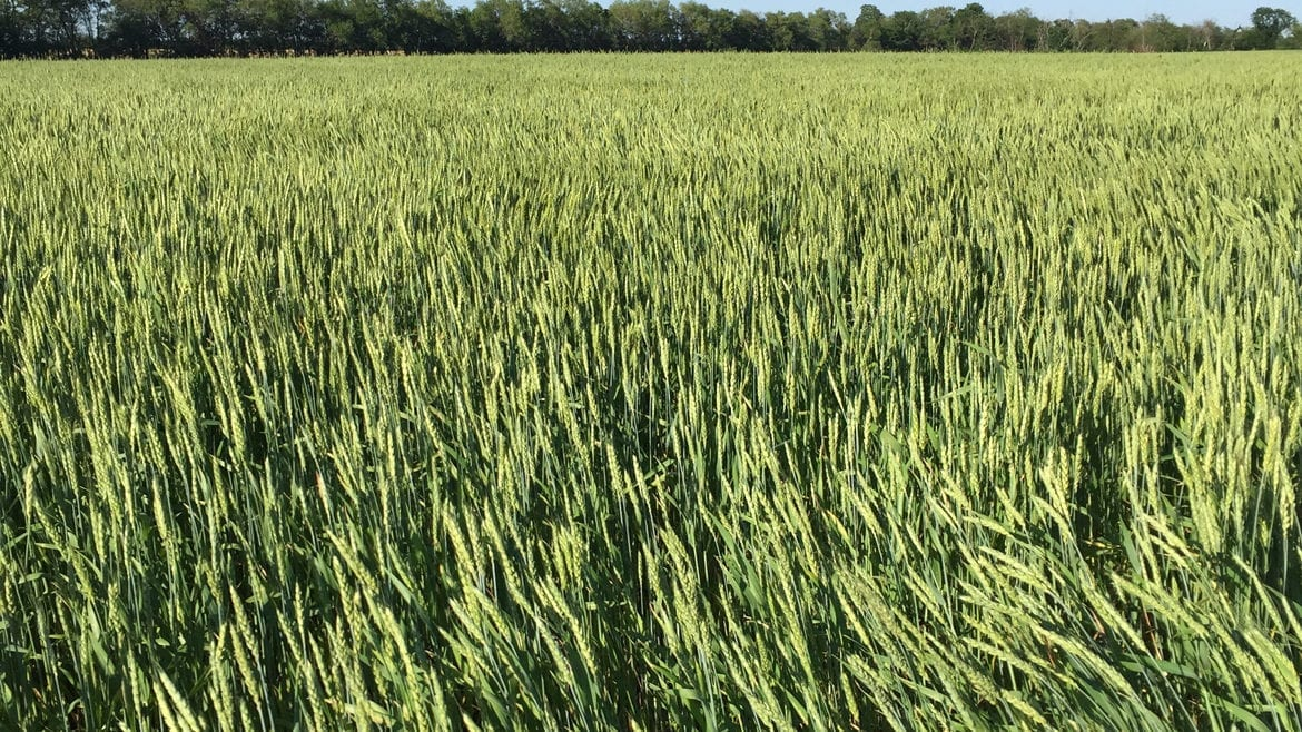Wheat grown by Great Plains Custom Grain will be used in Cinder Block Brewery's Weather Witbier.
