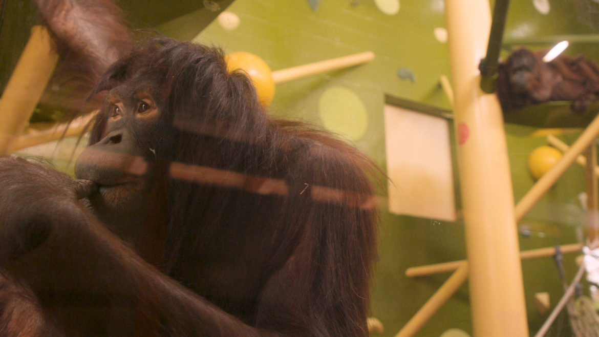 A contemplative orangutan at the Kansas City Zoo.