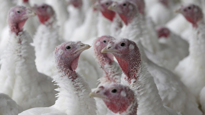 turkeys in a pen
