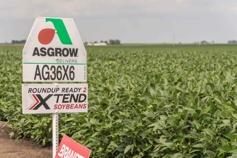Dicamba-resistant soybeans in a field