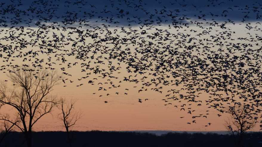 Waterfowl take flight at Loess Bluffs National Wildlife Refuge
