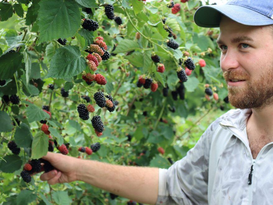 Cain Mathis picks a ripe blackberry at his U-pick farm in Lecompton, Kansas.